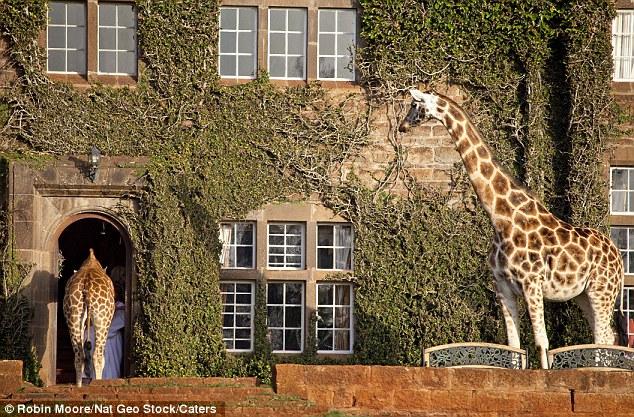 As girafas ficam em casa neste hotel! 4
