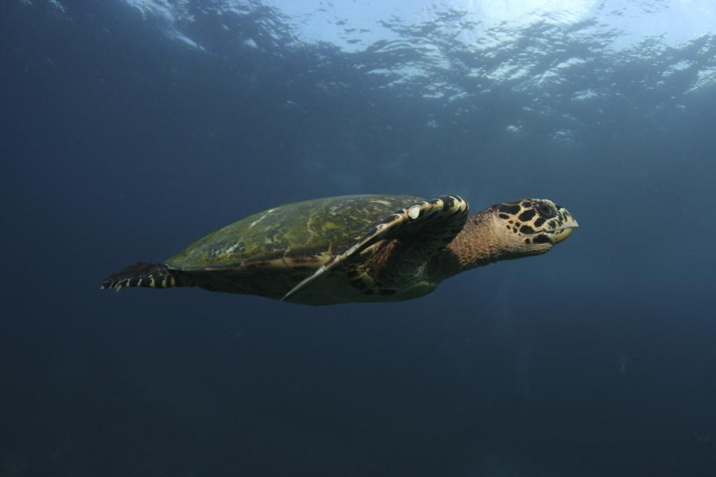 Tartaruga marinha em Noronha