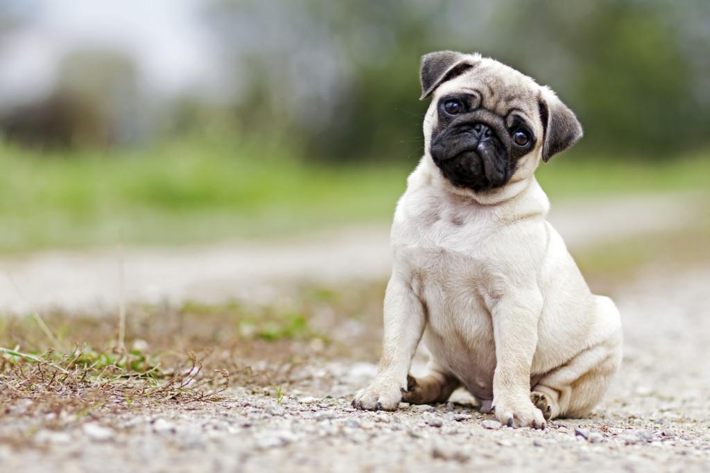 cachorro-pug