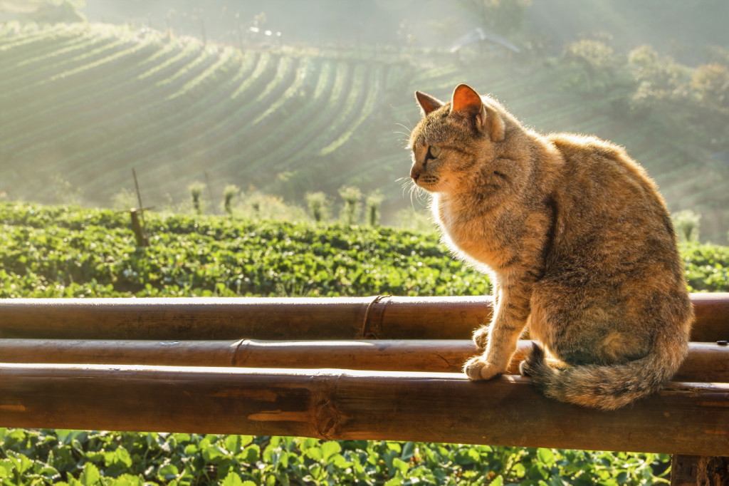 gato-no-campo